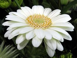 white gerb